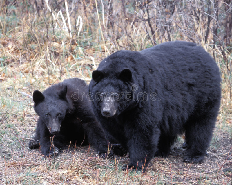 Bad Mama. Very Large Female black bear with cowering cub stock image
