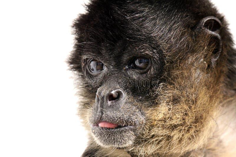 Download Bad Monkey stock image. Image of alert, background, wildlife - 9521975