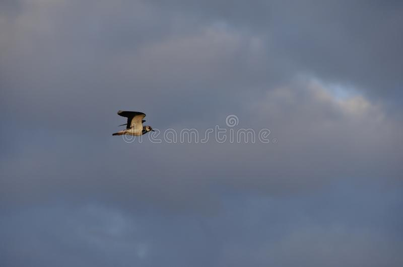 Bad mood, heavy clouds. Bad weather, dramatic view, depression, gothic style, mystery concept. Bird flying on dark sky. Birds. Season migration. Bird fly away royalty free stock photography