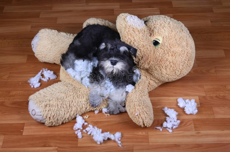 Bad naughty schnauzer dog destroyed plush toy royalty free stock photo