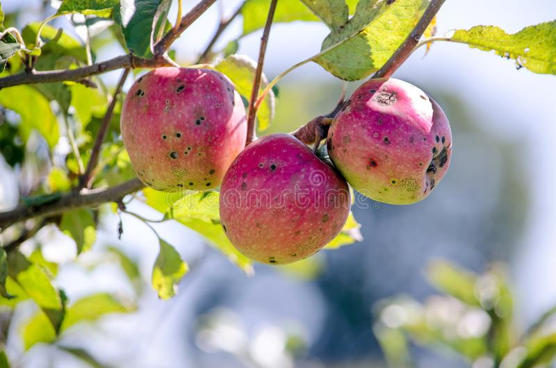Bad diseased organic apples stock photo