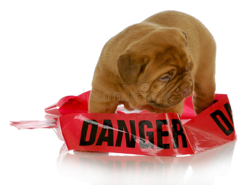 Download Bad puppy stock photo. Image of hindrance, safe, canine - 29609034