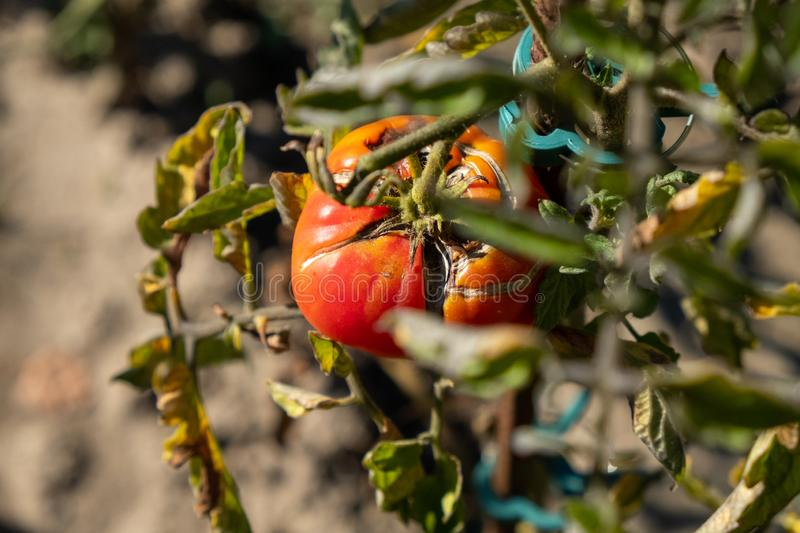 A bad red tomato on the shrub. In the sunlight royalty free stock images