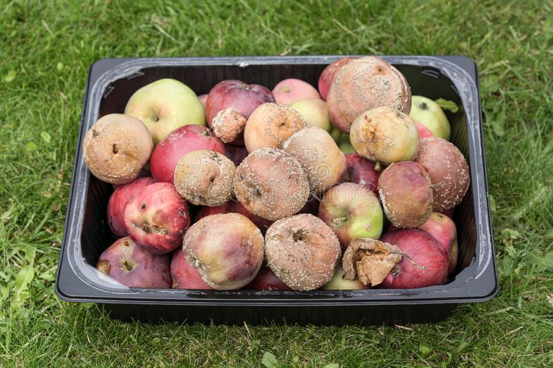 Bad apples in plastic tray. Bad and rotten apples collected in a black plastic tray on a grass lawn stock photo