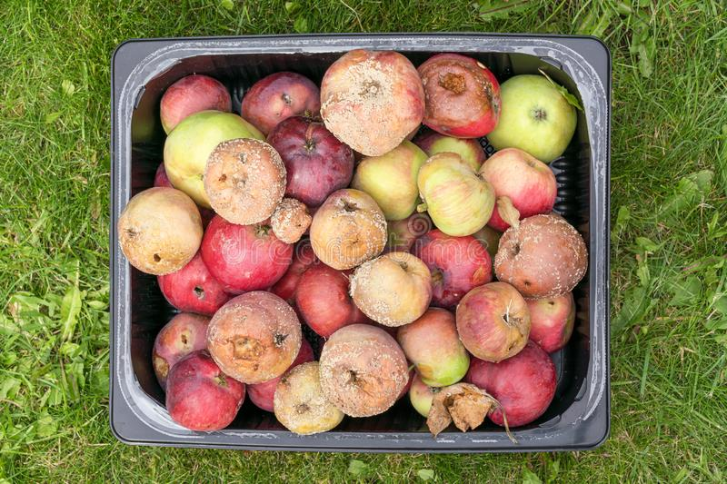 Bad apples in plastic tray. Bad and rotten apples collected in a black plastic tray on a grass lawn seen from above stock photo