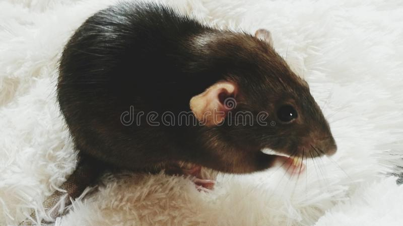 Bad, ugly, dirty... RAT royalty free stock photography