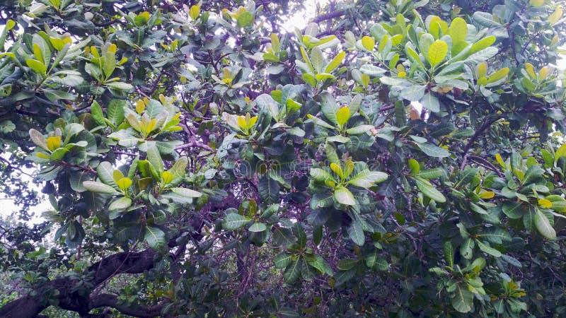 Badam hermoso de Kaju de la fruta Jardín imagen de archivo