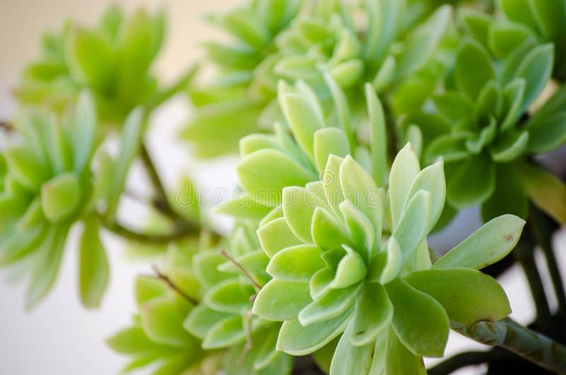 Badan roślina zdjęcie royalty free