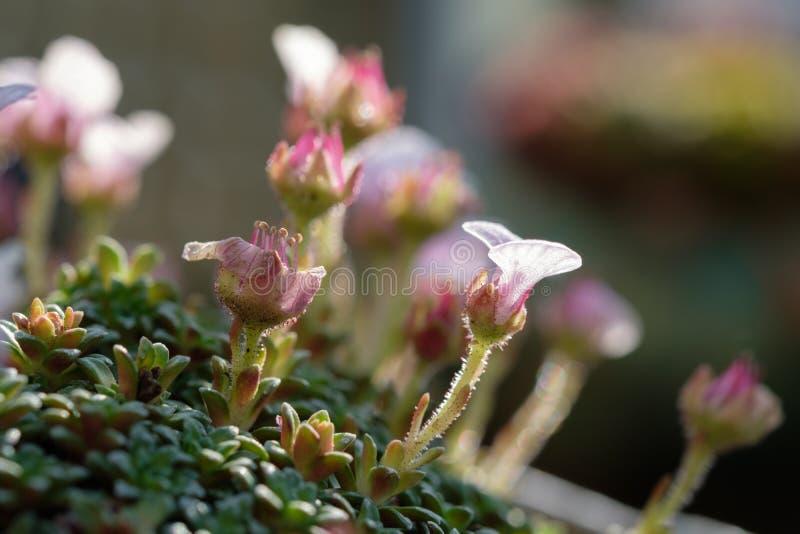Badan rośliny Saxifraga Sissi z różowymi kwiatami fotografia royalty free