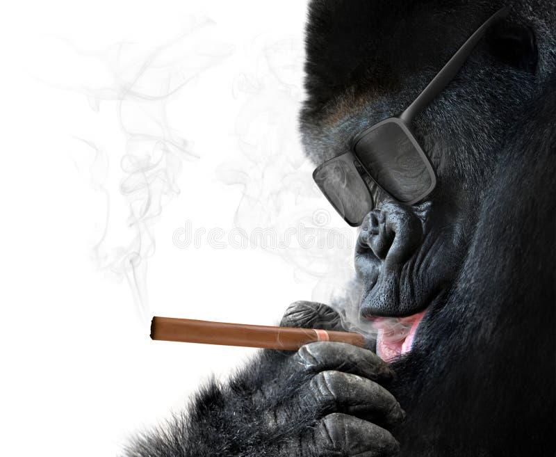 Badass gorilla med kall solglasögon som röker en kubansk cigarr som ett framstickande royaltyfria bilder