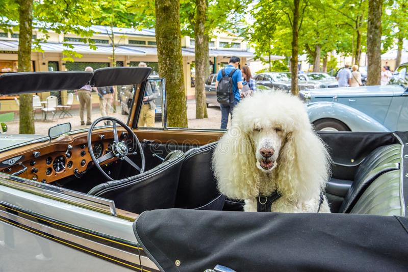BADEN BADEN, GERMANY - JULY 2019: white poodle in BENTLEY SPEED SIX cabrio roadster 1926, oldtimer meeting in Kurpark.  stock photography