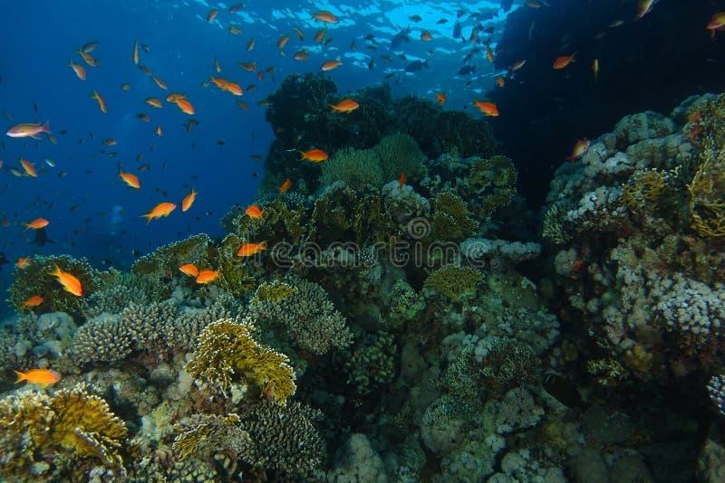 Badet för havsgoldiefisken inom korallträdgården i hajar revar royaltyfri fotografi