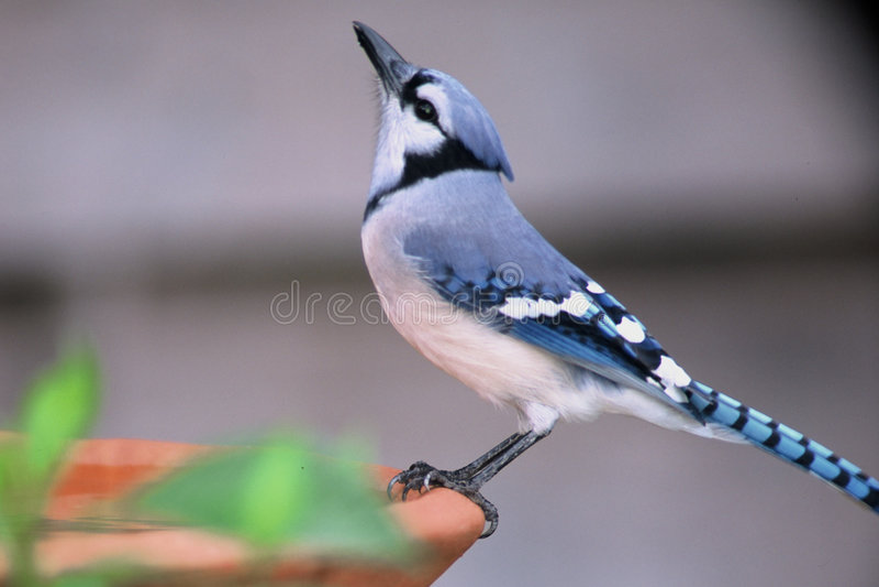 Download Badfågelblue arkivfoto. Bild av natur, perched, dricka, vatten - 40202