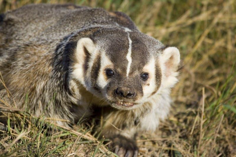 Download Badger stock photo. Image of rodent, violent, badger, teeth - 1438622