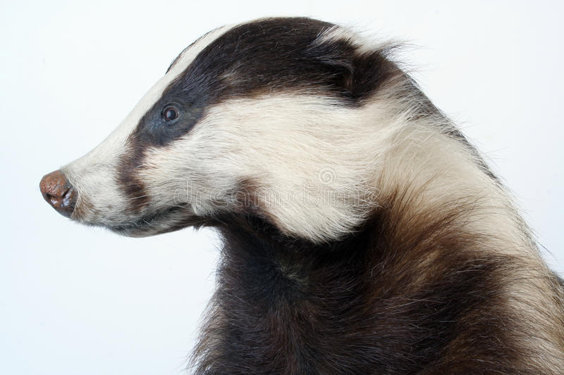 Download Badger stock photo. Image of animal, pelt, carnivore - 18209586