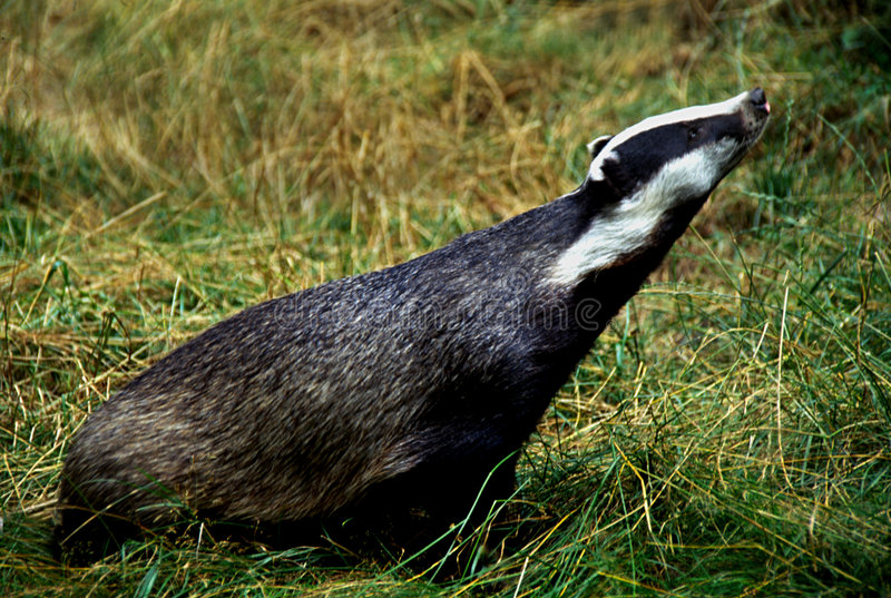 Badger. Picture of badger taken during the day in grass