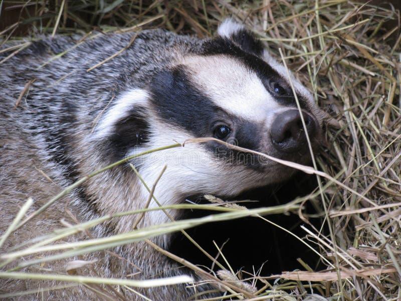 Download Badger stock image. Image of mammal, predatory, portrait - 213345