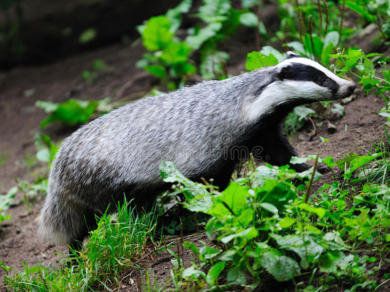 Badger. In the summer, germany royalty free stock images