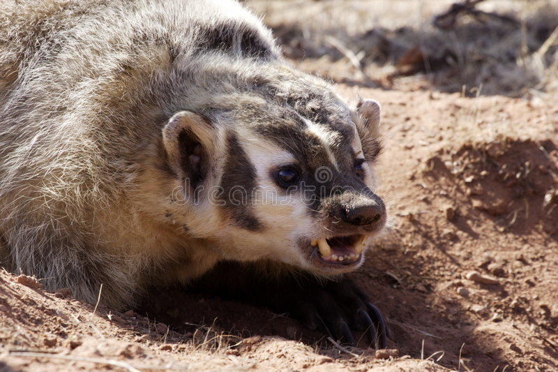 Badger. Portrait of badger fiercely defending its burrow royalty free stock photo