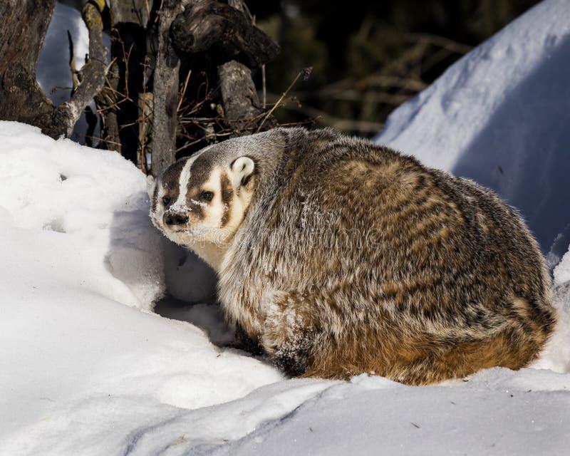 Badger a apreciação de um sunbath no sol frio de Montana foto de stock royalty free