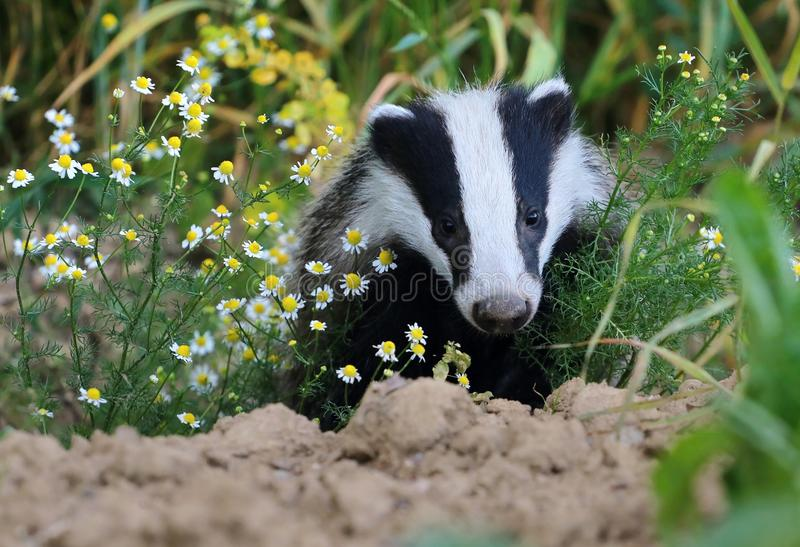 Badger in camomile royalty free stock photography