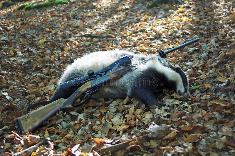 Badger. Caught a badger with a hunting rifle stock image