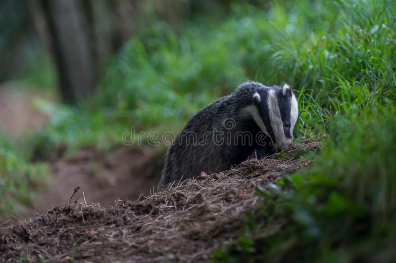 Badger cubs at set. A close up of badger cubs at a sett in Dumfries and Galloway, Scotland royalty free stock image