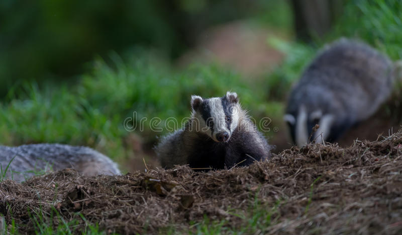 Badger cubs at set. A close up of badger cubs at a sett in Dumfries and Galloway, Scotland stock photography