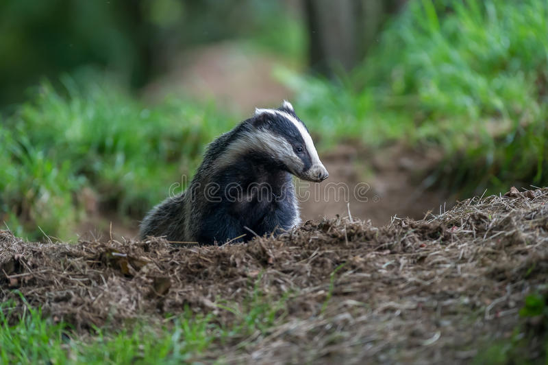 Badger cubs at set. A close up of badger cubs at a sett in Dumfries and Galloway, Scotland stock images