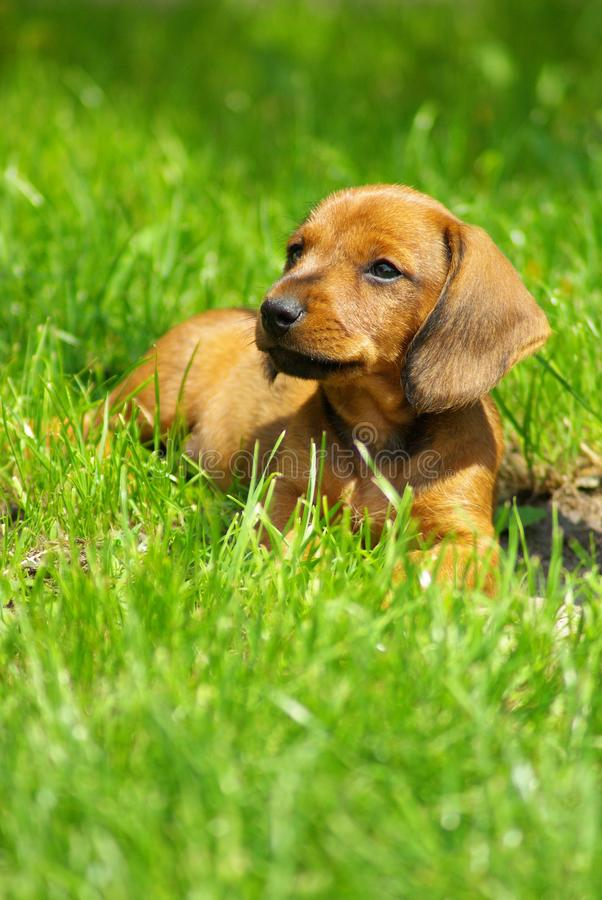 Badger-dog. Young badger-dog laying in the grass stock photo