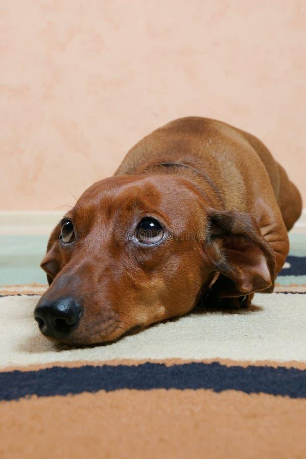 Free Badger Dog Is Sad Royalty Free Stock Image - 8524716