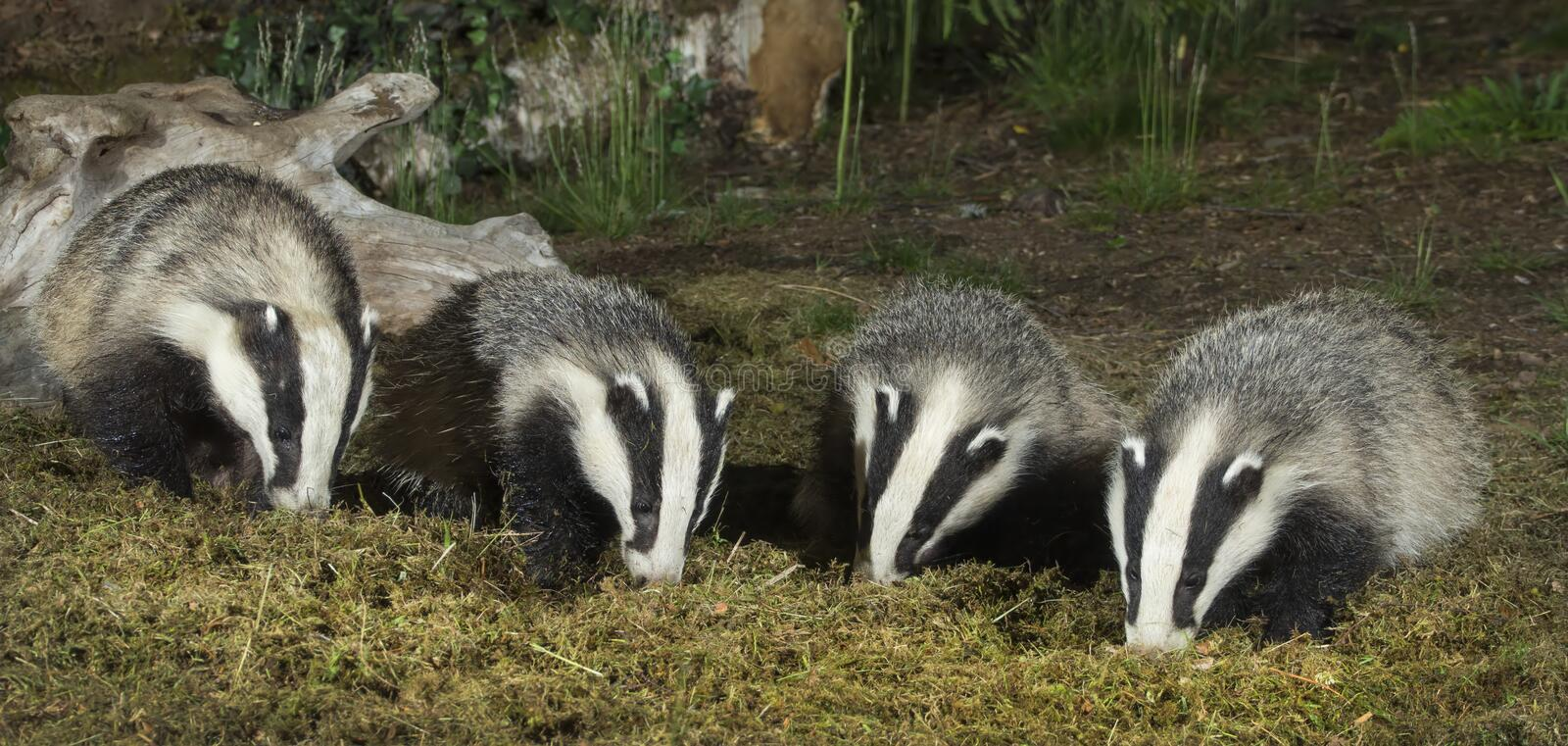 Badger family. Looking for food scotland stock images