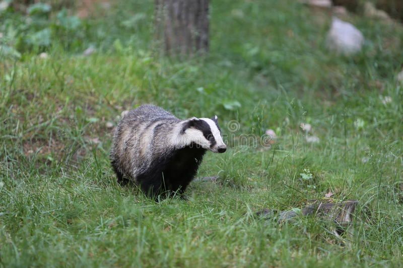 Badger. From finland - thousands of lakes country stock image