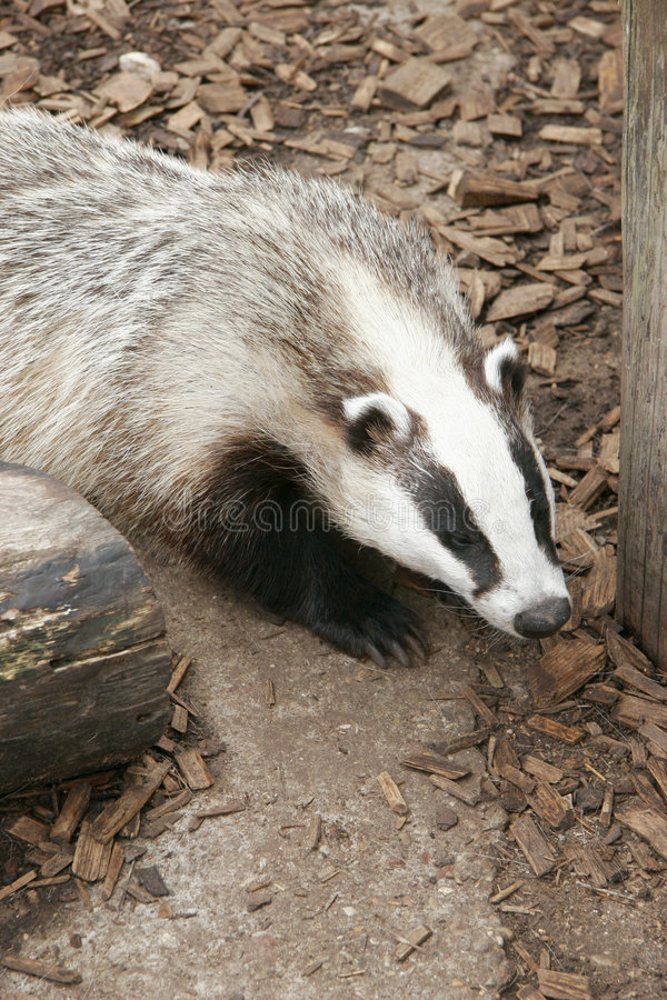 Badger In The Forest Royalty Free Stock Image
