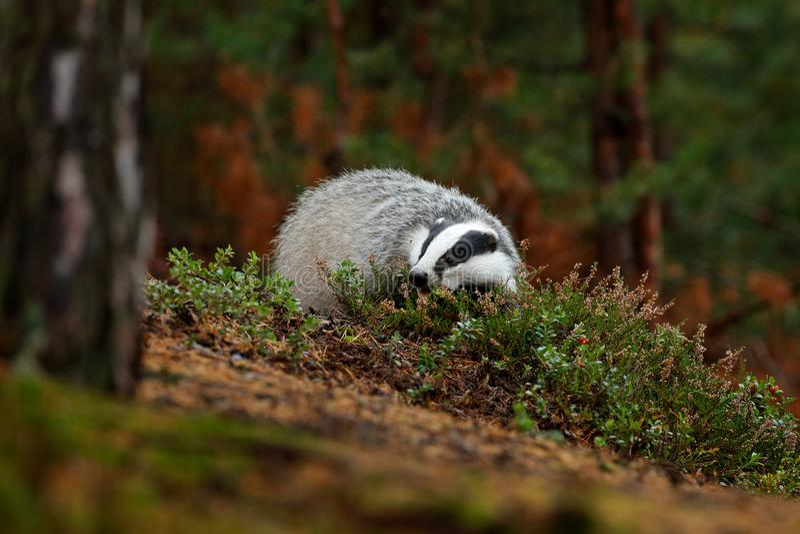 Badger in forest, animal nature habitat, Czech, Europe. Wildlife scene. Wild Badger, Meles meles, animal in wood. European badger, stock image