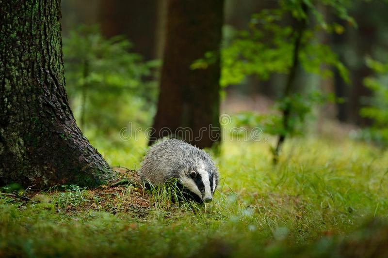 Badger in forest, animal in nature habitat, Germany, Europe. Wild Badger, Meles meles, animal in wood, autumn pine green forest. M. Ammal in environment during stock images