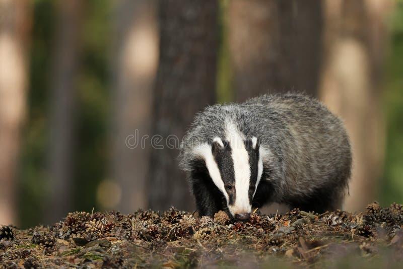Meles meles, animal in wood. European badger, autumn pine forest. stock photo