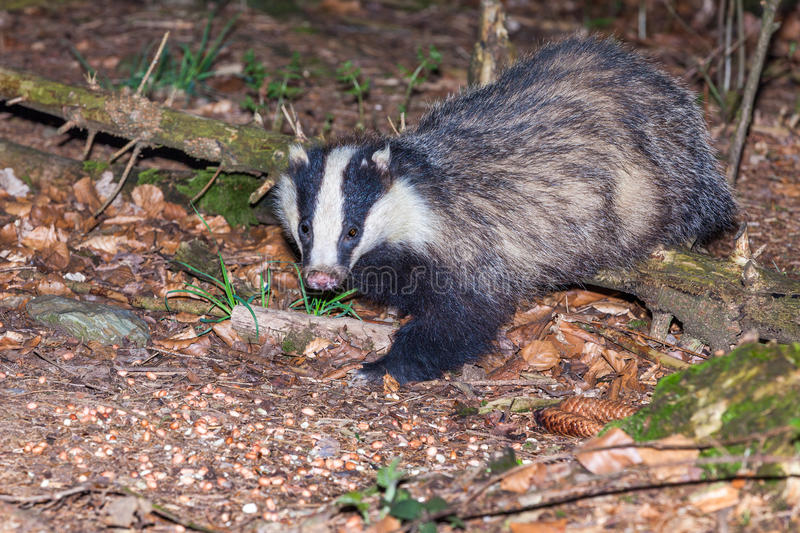 Badger. In the forest is a badger eating not, very beautiful animal stock photos