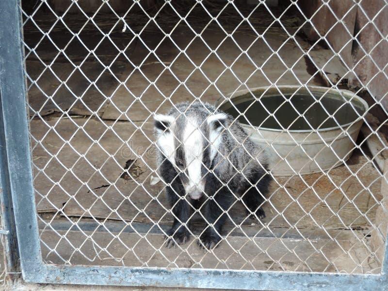 Badger in gevangenschap in een kooi in een dierentuin royalty-vrije stock fotografie