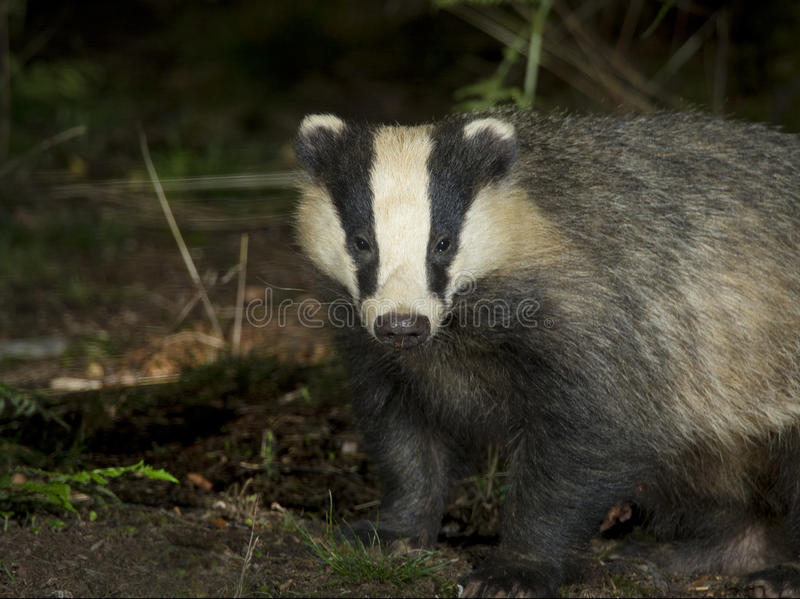 Badger. Looking for food in moss royalty free stock photos