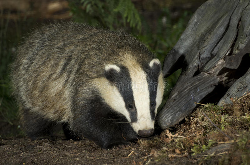 Badger. Looking for food scotland royalty free stock photo
