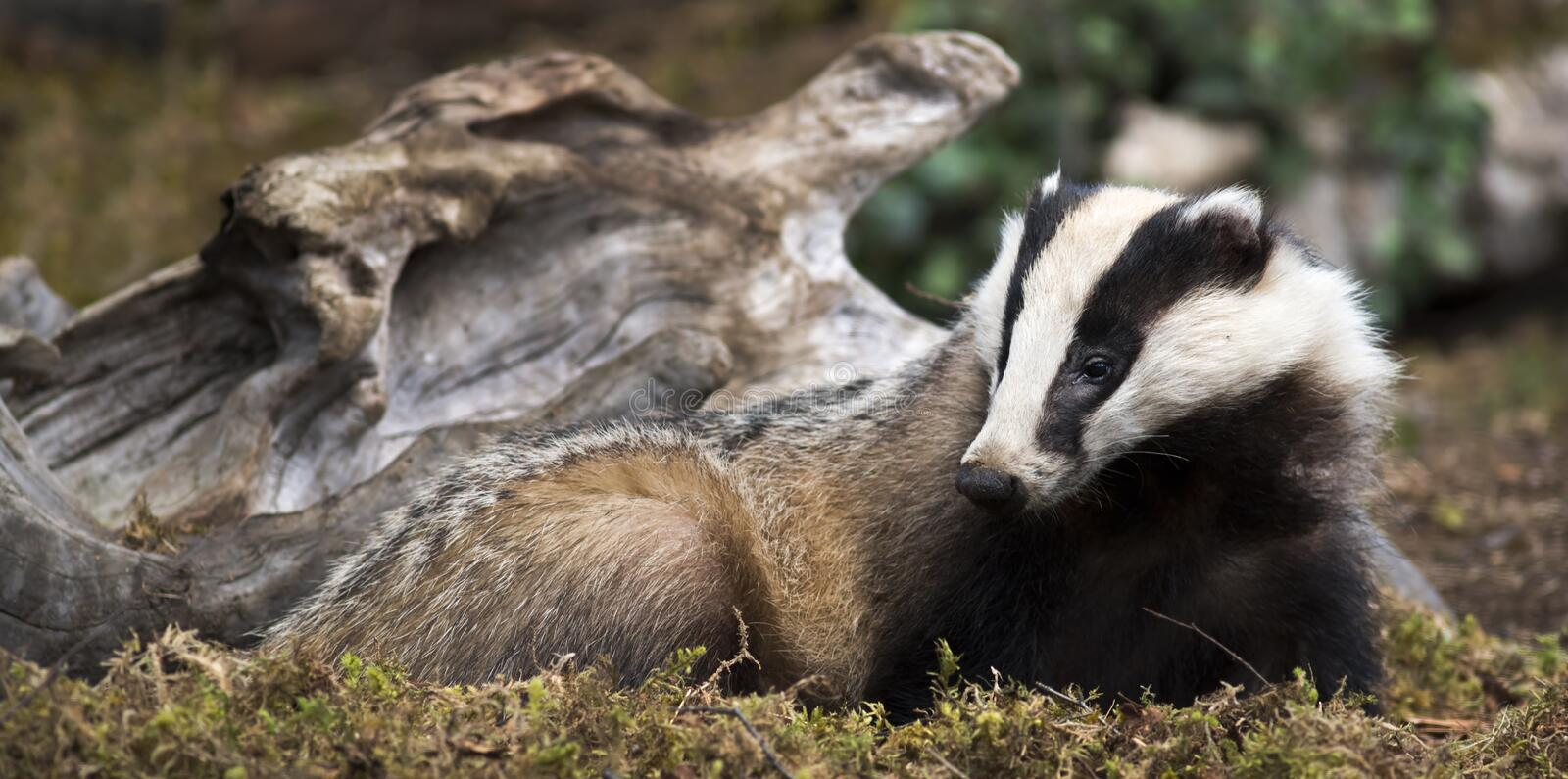 Badger. Looking for food scotland royalty free stock images