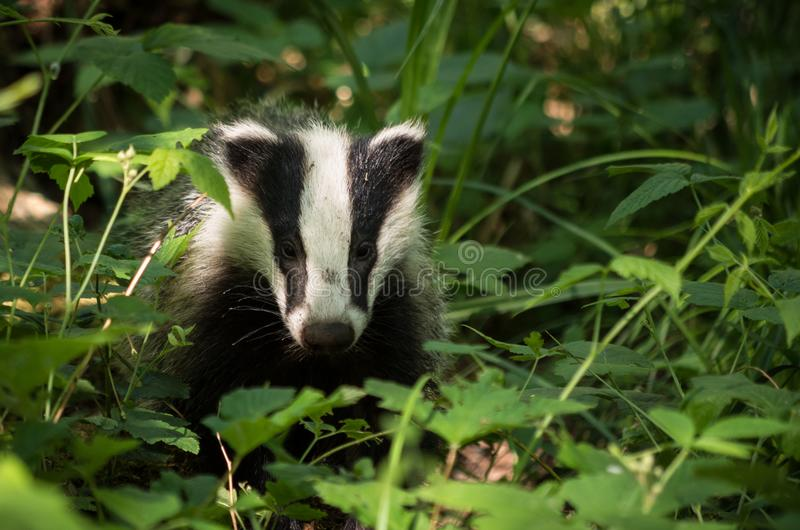 European badger hiding in the thickets. stock images