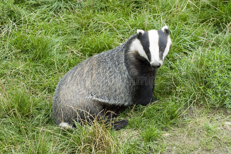 Badger - Meles meles stock photos