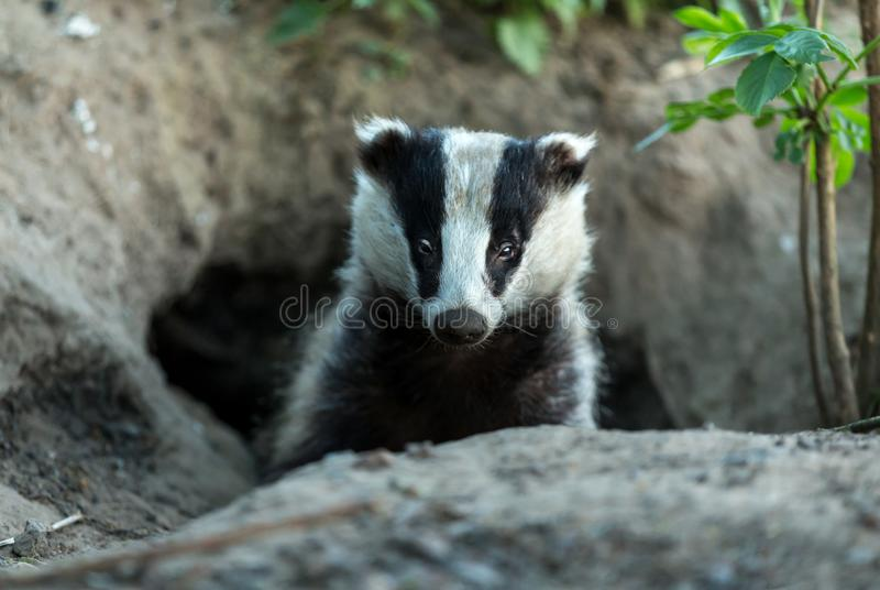 Badger Meles meles emerging from the sett. Adult badger emerging from a badger sett and look forwards. The badger is surrounded by earth from the sett royalty free stock image