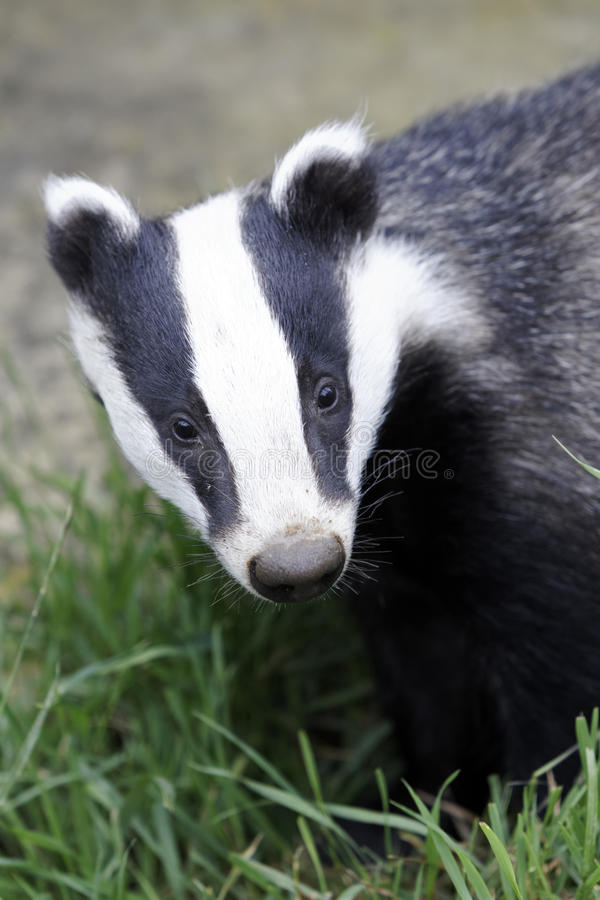 Badger, Meles meles stock image