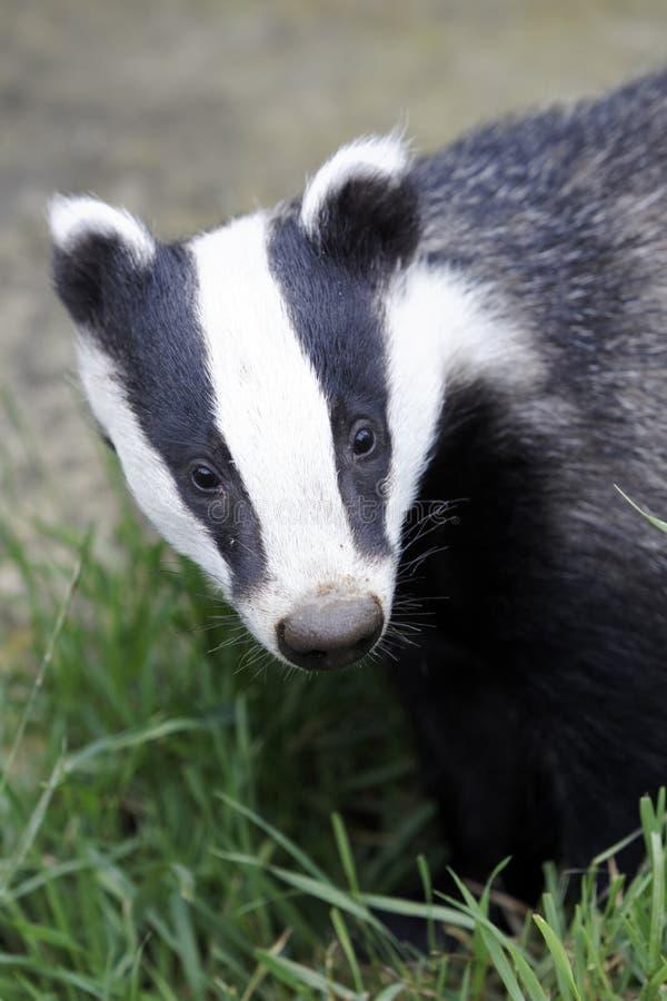 Badger, Meles meles. Single animal head shot, Captive, July 2011 stock image
