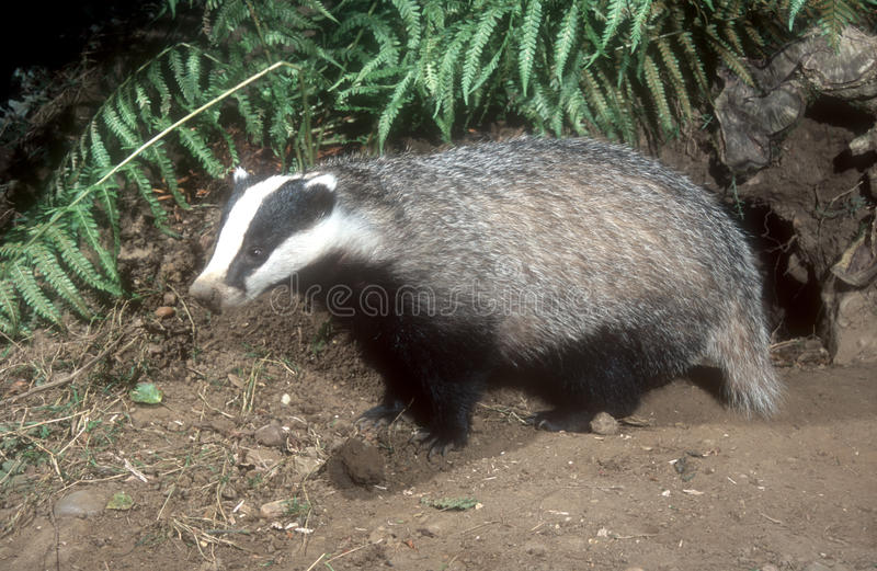Badger, Meles meles. Single mammal, UK royalty free stock image