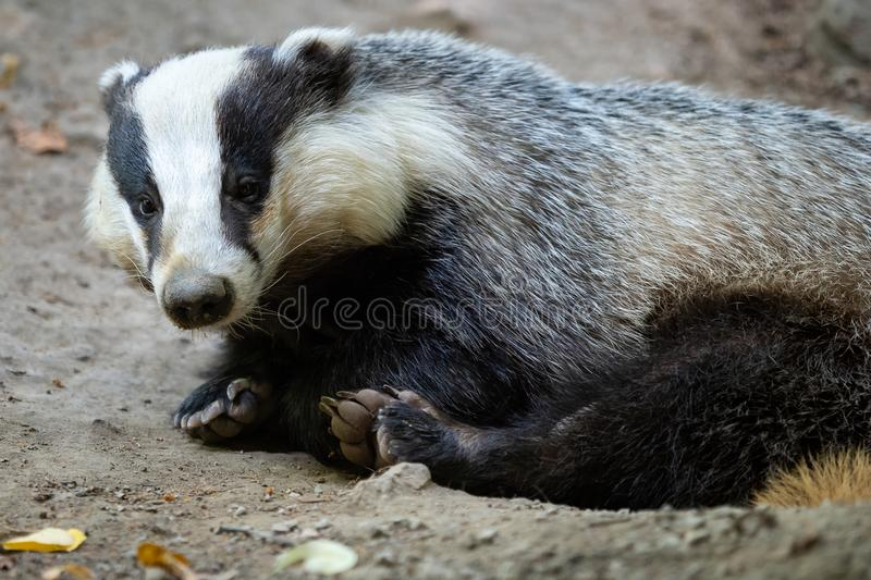 Badger near of the hole. European badger royalty free stock photography