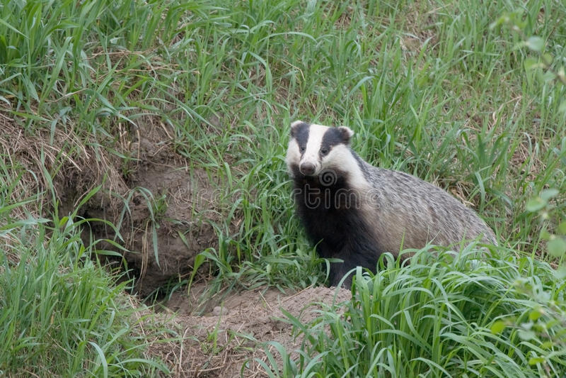 Badger near of the hole. Wild European badger (Meles meles royalty free stock images